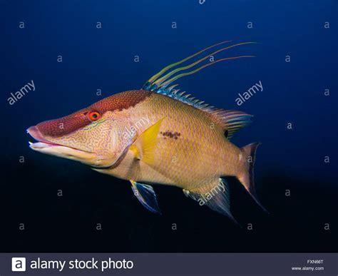hogfish images hogfish stock photos hogfish stock images alamy