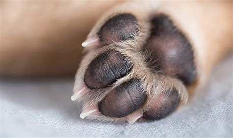 how to your to paw how to prevent injuries to your s paw pads