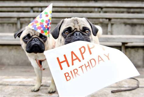 happy birthday pug images happy birthday pugs pugs birthdays happy birthday pug and birthday pug
