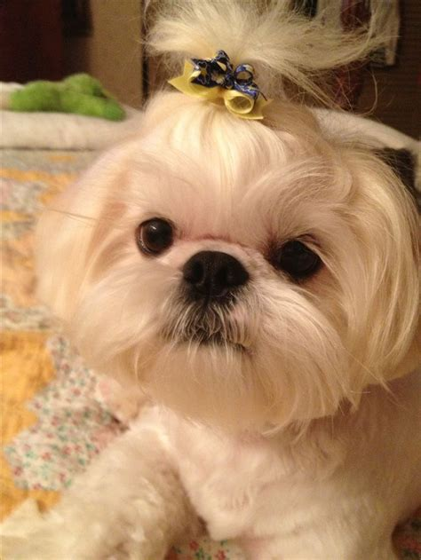 hair cut shih tzu snd poodle 118 best images about shih tzu haircuts on pinterest