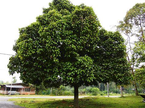 harvest fruit tree sale file pokok manggis jpg wikimedia commons