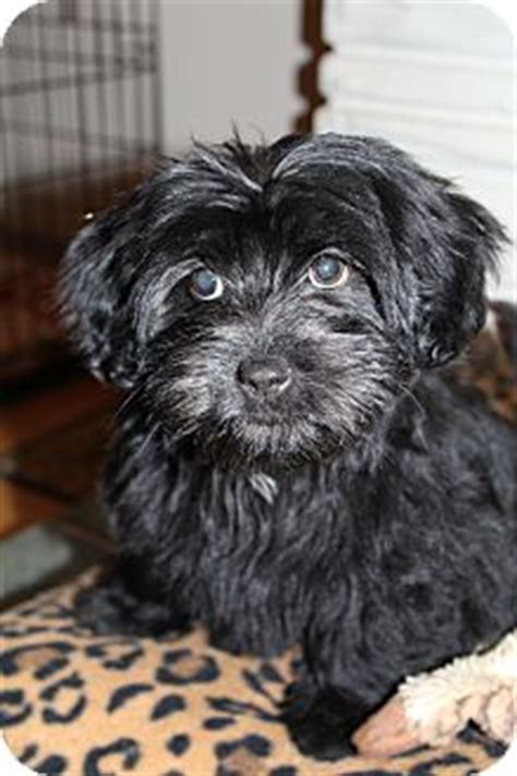 shih tzu rescue glasgow prada adopted puppy medina tn scottie scottish terrier shih tzu mix