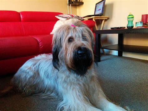 briard puppies for sale lovely 19 months briard for sale telford shropshire pets4homes