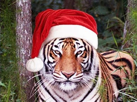 funny cute big cat christmas youtube