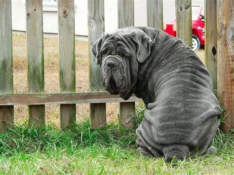 mastiff colors neapolitan mastiff breed guide learn about the