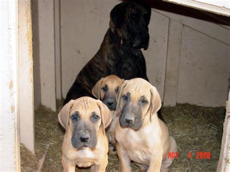 great dane puppies washington fawn great dane puppies washington state