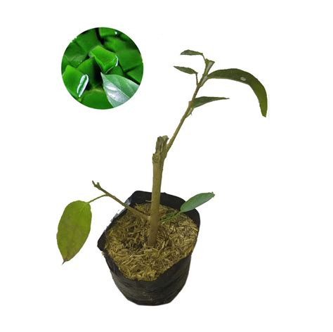 Jual Bibit Cabai Jawa jual bibit tanaman murah pohon cincau hijau pulau jawa harga kualitas terjamin