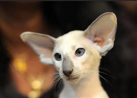 gato pelo corto seychellois de pelo corto razas de gatos webanimales