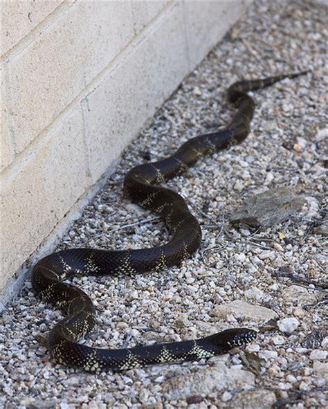 Garden Snake Arizona King Snake Tucson Az By Searchnetmedia Flickr