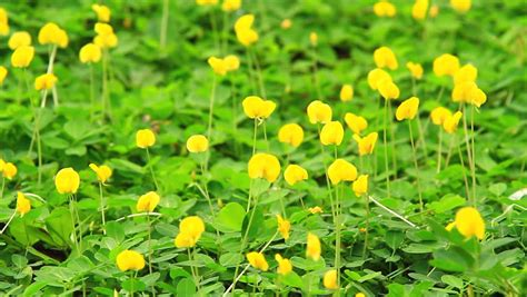 Pinto Peanut pinto peanut arachis pintoi yellow pea ground cover plant flower in the morning sun