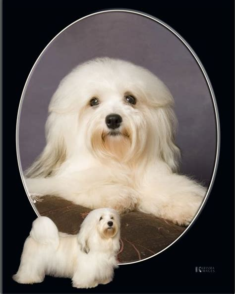 happy paws havanese havanese
