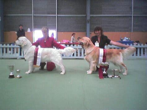 golden retriever lump on chest gofetch goldens golden retrievers puppies tauranga new zealand
