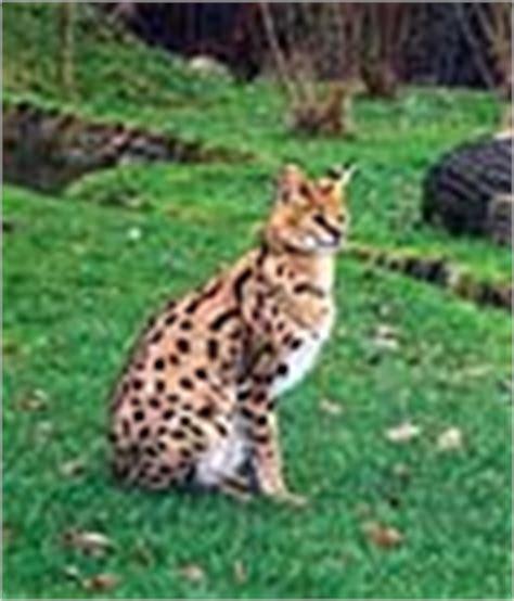 Savana Azhima cat galerie savannahs serval bengal fotos