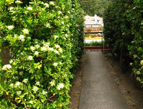 pitosforo in vaso pitosforo coltivazione e cure fai da te in giardino
