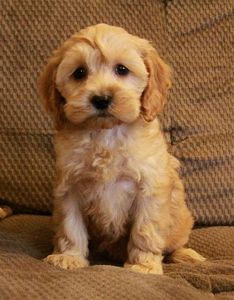 cockapoo puppies tennessee 22 best images about cockapoos my fav on tennessee mohawks and puppys