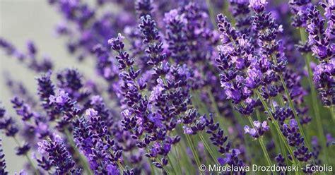 Lavendel Gegen Unruhe Schlafprobleme Netdoktor