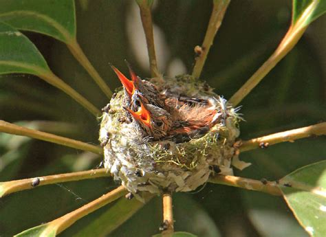 we watched a mama hummingbird raise two babies bored panda