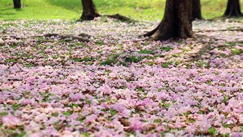 pink flower floor l pink flower fall on the green grass floor stock footage
