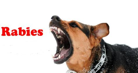 rabies signs in dogs health care at home