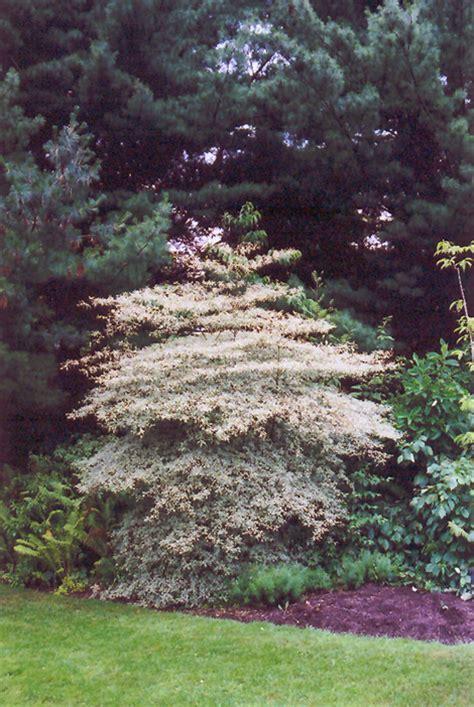 Variegated Pagoda Dogwood (Cornus alternifolia 'Argentea