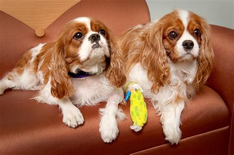king cavalier cavalier king charles spaniel pictures information temperament characteristics