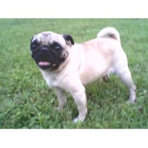 pug breeders ny newfoundland breeders in new york freedoglistings breeds picture