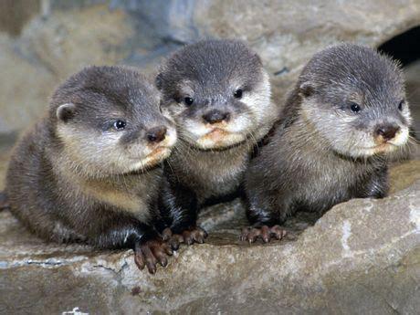asian baby otter preslatki happy happy kids