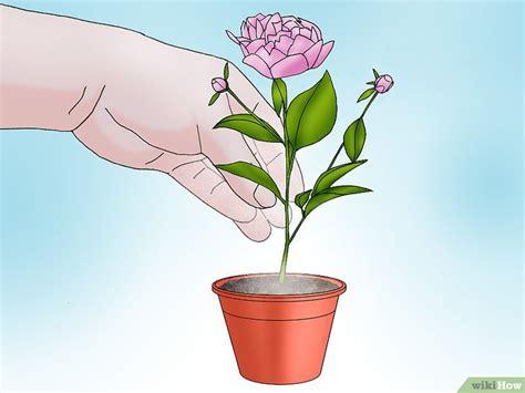 peonia in vaso come crescere una peonia in vaso 11 passaggi