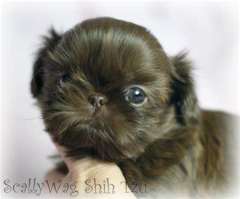 scallywag shih tzu imperial shih tzu puppy for sale tiny shih tzu breeds picture