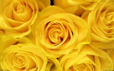 desktop wallpaper yellow roses yellow roses 4 desktop wallpaper hdflowerwallpaper com