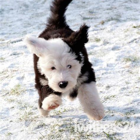 sheepdog puppy sheepdog puppy dogs 6
