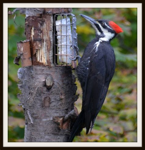 pileated woodpecker at a suet feeder feederwatch
