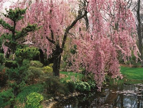 6 cherry tree gardens ramsgate best 25 flowering cherry tree ideas on