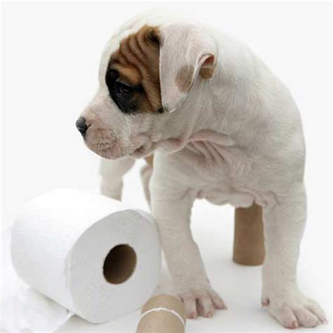 puppy constipation home remedy home remedies for constipation in dogs 7 steps