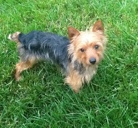 yorkie rescue in maryland ernie o s web page