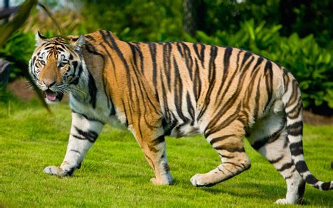Amazing Animals Tigers house of wallpapers free high definition