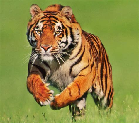 Imagenes Google Tigres   tigre pesquisa google fotografias animais pinterest