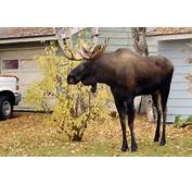 Moose Went Out Of Its Way To Trample Woman In Colorado  OutdoorHub