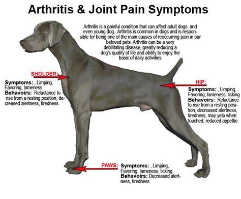 arthritis in dogs dogs with arthritis myideasbedroom