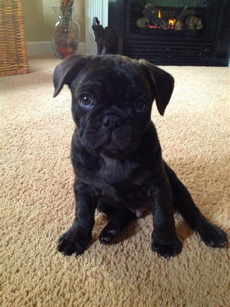 frenchie cross pug 31 best bulldogs pugs and frugs images on bulldogs