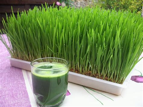 Wheatgrass Detox Thc by 10 Things You May Not About Wheatgrass Up World