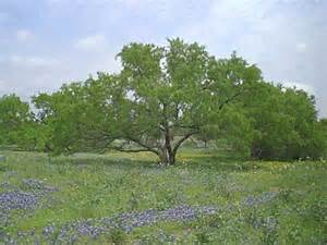 Tree Tx Mesquite Tree My
