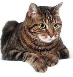 different cat breeds with pictures