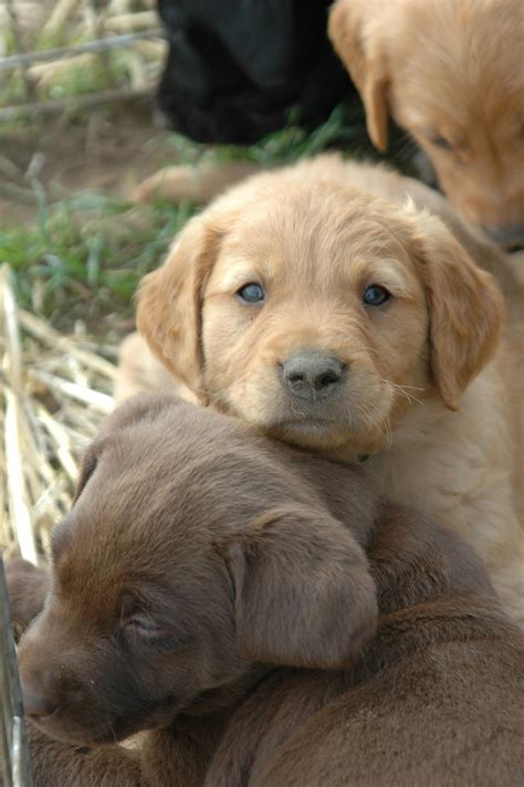Golden Retriever Lab Mix Puppies For Sale In Ohio