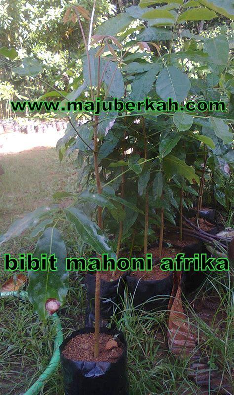 Tanaman Daun Afrika Berkualitas bibit mahoni afrika bibit tanaman manhoni afrika jual bibit mahoni afrika murah
