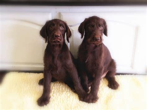 shih tzu puppies for sale inland empire shih tzu puppiesfor sale inland empire breeds picture