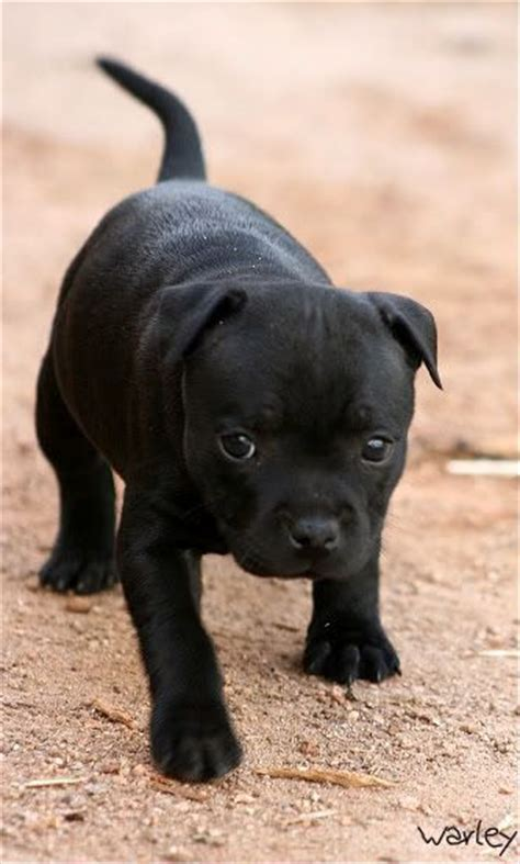 staffy puppy 25 best ideas about black pitbull on big pitbull italian mastiff and