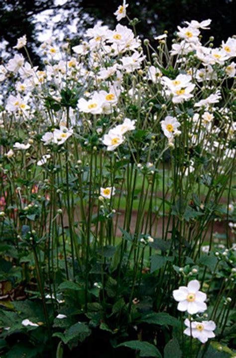 Potted Plants by Anemone X Hybrida Honorine Jobert Japanese Anemone