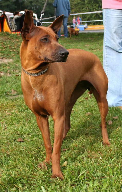 thai ridgeback puppies musings of a biologist and lover breed thai ridgeback