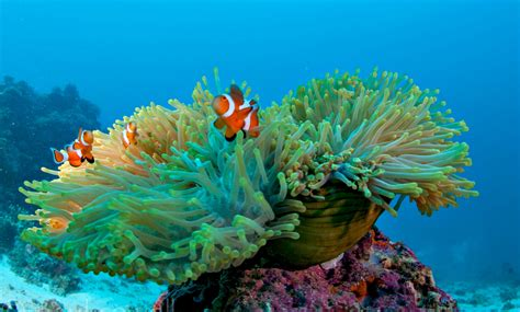 anemone eat clownfish what type of food do clownfish eat naturallycurlye